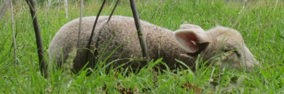 This little lamb, Patience, is about two weeks old. She has fallen asleep in the warm sun while her mother, Tails, grazes near by. Tails will come over to check on Patience from time to time, but enjoys having some time to eat in peace!