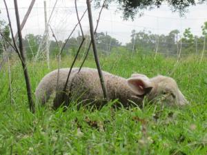 A Spring lamb, napping at noon.