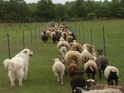 Check out the beautiful range of colors in this flock of SHEEP.