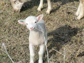 This little ram lamb is just a few days old. He is already learning to graze by imitating what he sees the bigger sheep doing. He mouths the twig to see what all the sheep chewing is about.