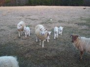 Hope (in center), and Lily (Hope's daughter, the adult sheep on the left) are each followed by their new, single lambs, and Mercy's new twins on the right.  Lily is 3 years old, and her mother Hope is 5 years old.  They remain inseparable best friends, always grazing or resting near one another.  The brown sheep on the right is Truffle, an Icelandic.