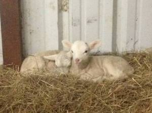 Less than a day old, but these siblings are already best friends.  Over the weeks to come, they choose to spend even more time with one another than they do with their mom, and they rarely let their milk supply out of their sight!  These are Mercia and Alfred, Mercy's twins born in 2015.