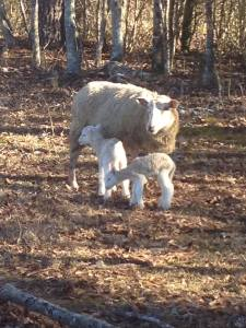 Just born. Mom is still getting use to her new baby's smell, and baby lamb is getting use to mom: her smell, the sound of her voice, which end the milk comes from, and how fast to run to keep up!
