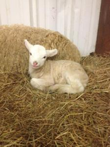 "This lamb is a ""lamb of the first year"" that fits the sacrifice requirements.  The cuteness factor adds to the sense of sadness of sacrifice.   I don't think it was meant to be emotionally ""easy""."