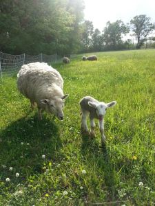LI mom follows lamb