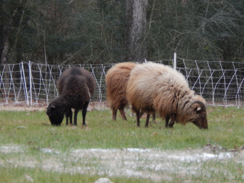Barbara Black-Sheep, April Brown and Katy Brown, all Icelandic sheep, grazing in the light snow in my yard.