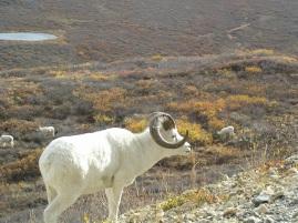 Dahl Sheep
