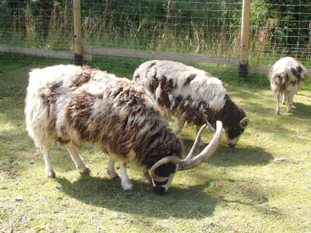 "These are Jacob sheep, known for their multiple horns. Notice they are not ""all white""?"
