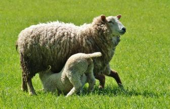 sheep-338225
